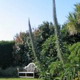 A garden bench at Ednovean Farm gives an idea of the height of the echiums