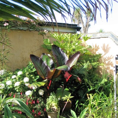 Banana plants thrive in the subtropical Cornish climate