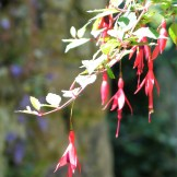 The delicate flowers of the hedging fuchsia