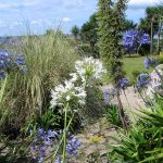 Agapanthus mixed with grasses for a relaxed garden planting