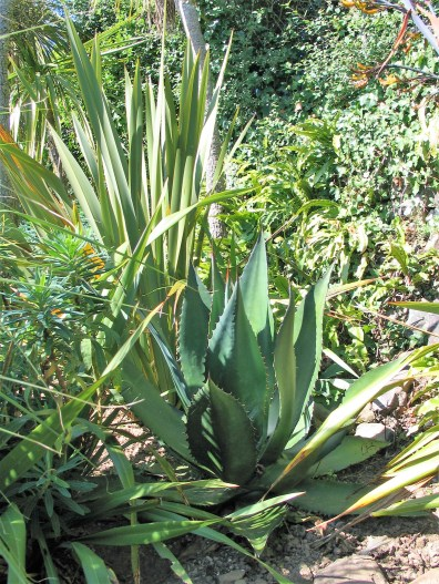 Agaves enjoy the microclimate in the Italian Garden