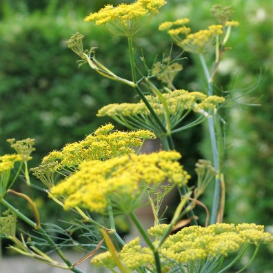 Aromatic fennel fill the courtyards in Ednovean Farms July garden