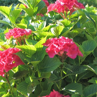 The hot pinks of the Hydrangeas