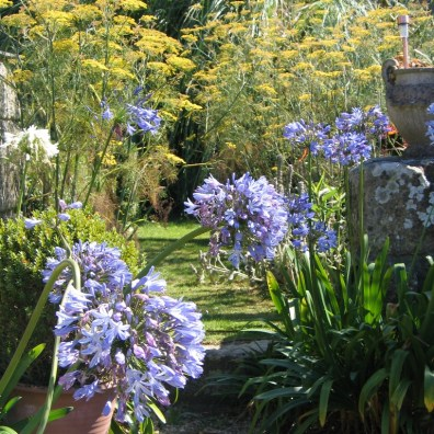 Agapanthus in the garden in Cornwall in the summer