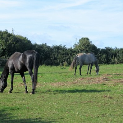 Horse graze peacefull beside the footpath across Ednovean Fam
