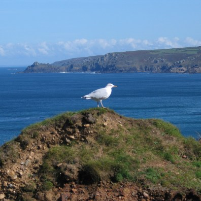 sea gull sitting above the cornish cliffs
