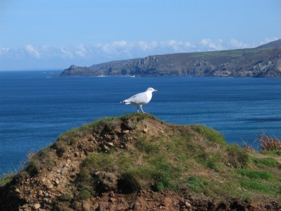 sea gull sitting above the cornish cliffs