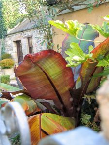 The big paddle shaped leaves of the bronze bananas plant with the mellow stone building of Ednovean Farm beyond