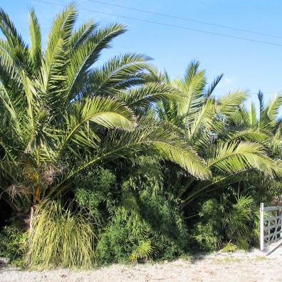 Line of Phoenix Canariensis against a blue sky in Cornwall