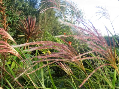 Tawny red miscanthus grass seeds in September garden