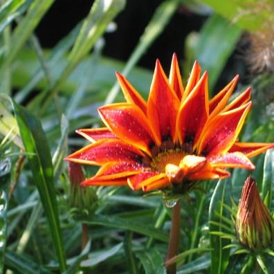 bright orange annual daisy