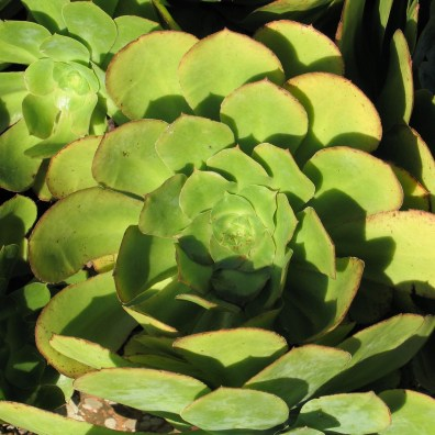 succulents survive year round in cornish gardens