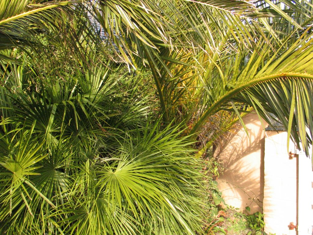 Sub Tropical Date palms and European palms