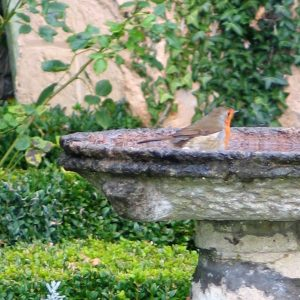 A robin in a bird bath in a winter garden