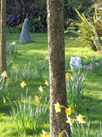 spring dafodils in the garden