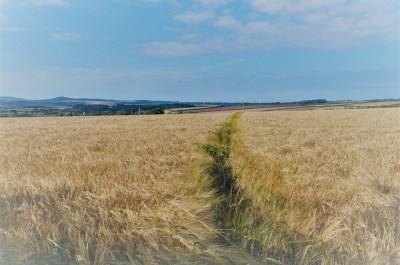 summer memory of a path through a golden field of corn