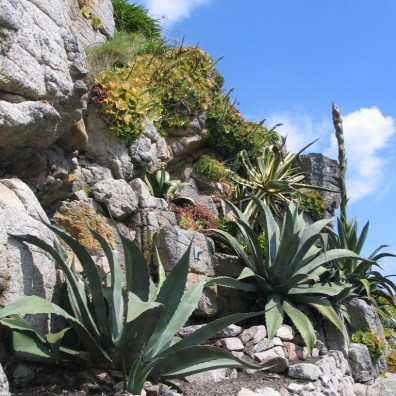 agaves lining a path