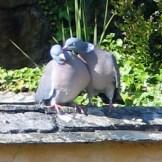 canoodling pidgeons