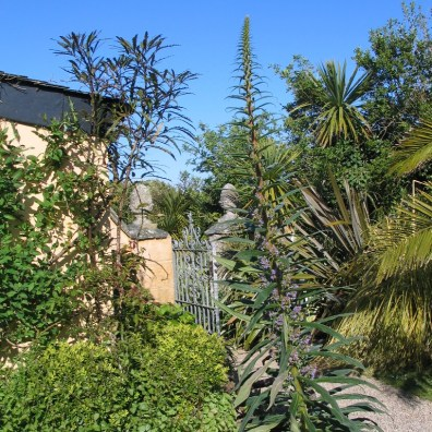 echium in a courtyard corner