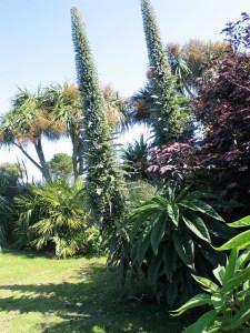 tall echiums frame lawn- ednovean farm garden diary