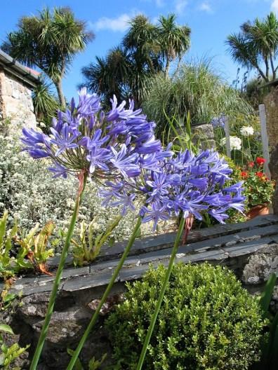 Blue Agapanthus amongst palms - cornwall