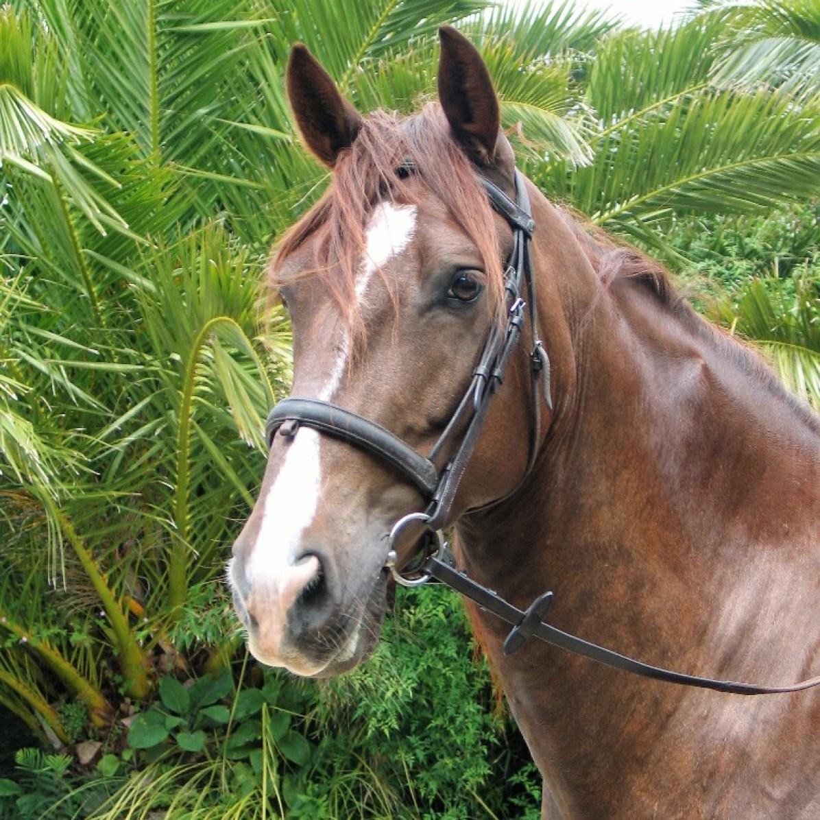 Archie - chestnut horse
