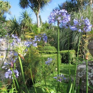 July garden with box palms andagapanthus