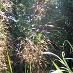 Golden oat grass
