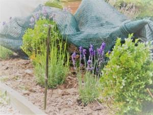 lavender netted against rabbits