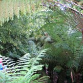 Charles lost under the tree ferns