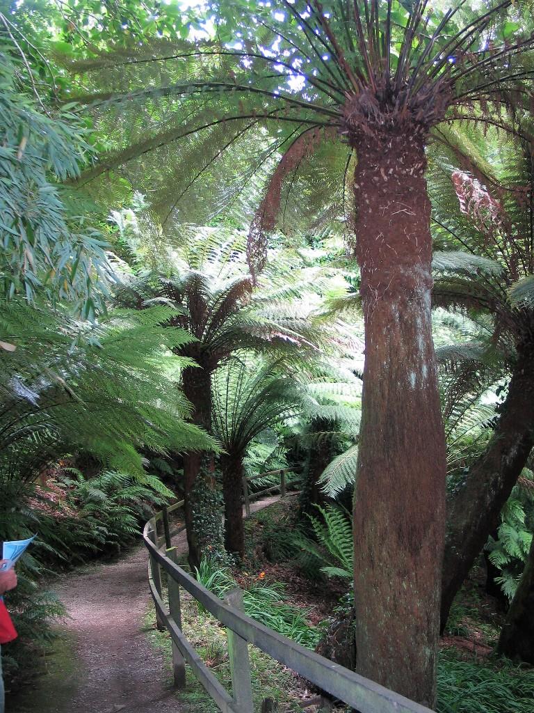 Path above Tree ferns - trewidden gardens