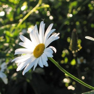 timeless white daisies
