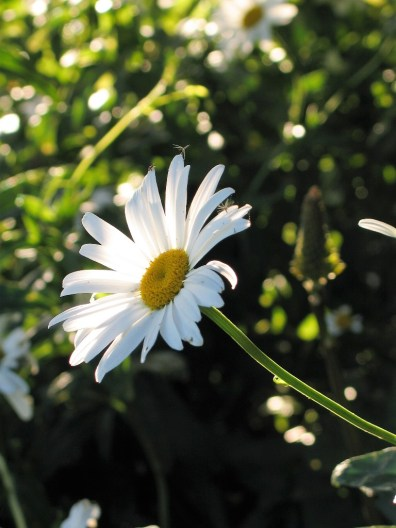 timeless white daisies