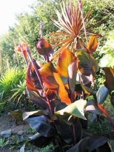 burnt orange canas with paddle shaped leaves