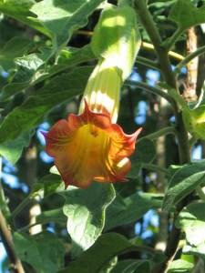 orange trumpet flower - brugmansia