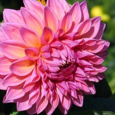 Showy Pink Dahlia