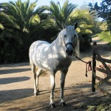 Grey Spanish stallion - autumn sunshine