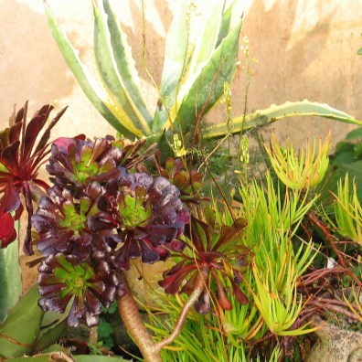 Agave and aeoniums