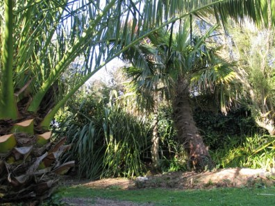 Cornwall's sub tropical climate supports Date palms