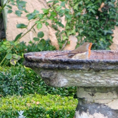 january robin washing in a stone bird bath