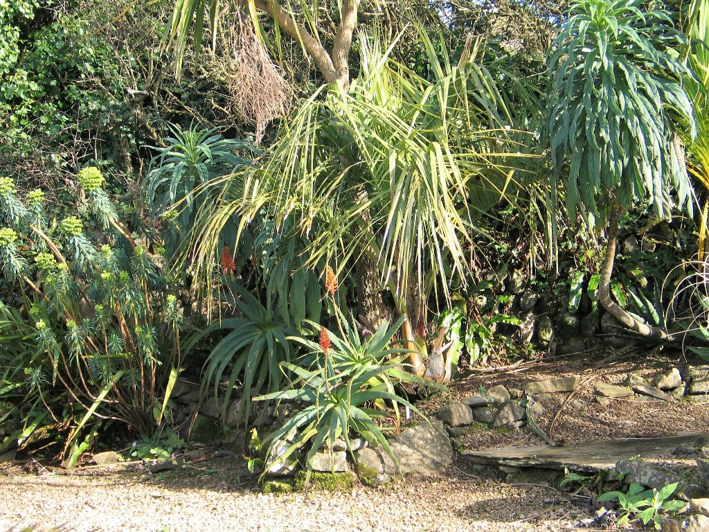 Palms and succulents in a sheltered sub tropical garden at Ednovean Farm