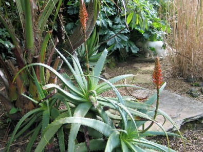 January garden at Ednovean Farm - aloes in flower
