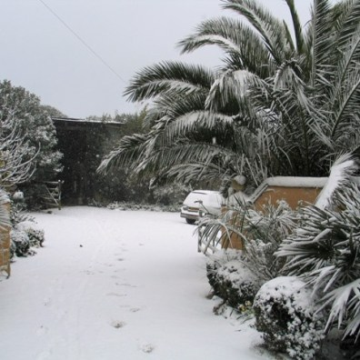 Date palms transformed by the snow at our gateway
