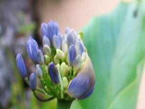 blue agapanthus unfurling - june garden