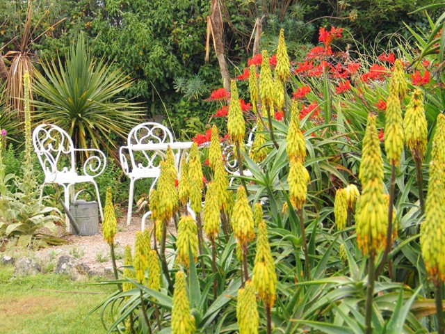 yellow aloe spikes - summer garden