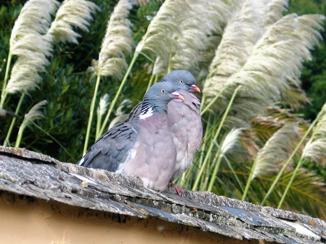 Two pigeons with wind swept pampas seed behind them