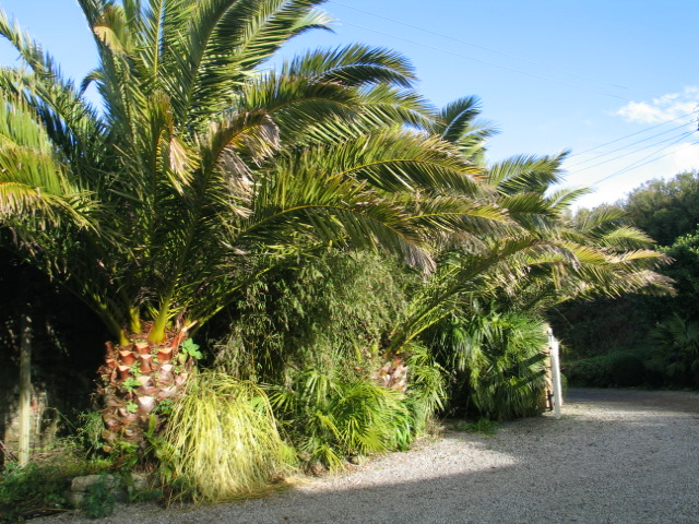 January garden - unchanging Date Palms