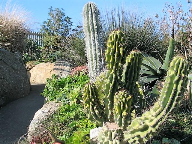 Cactus growing - Minack gardens