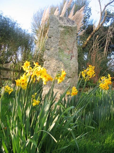 Vibrant yellow daffodils - Ednovean Farm