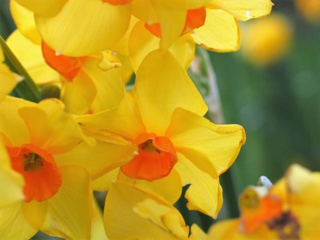 Golden daffodils with orange centre - garden